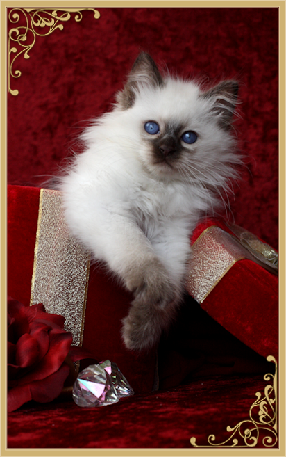 Balinese Cat Breeder Balinese Cats For Sale By Siamese Royalty