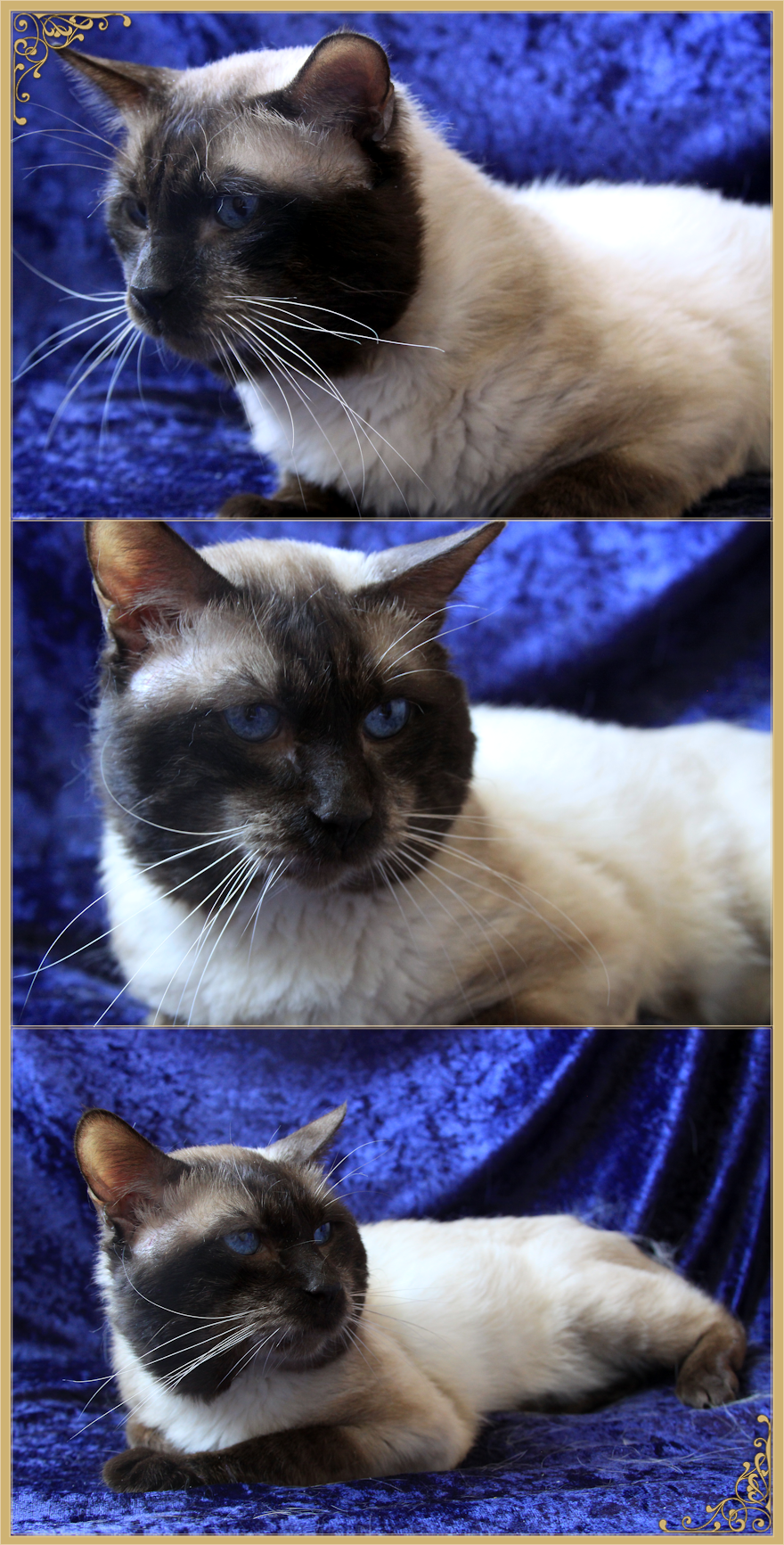 Applehead Siamese Cats For Sale In Michigan