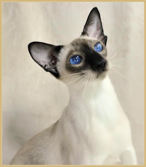 Traditional Siamese Kittens For Sale Applehead Siamese Cat Breeders