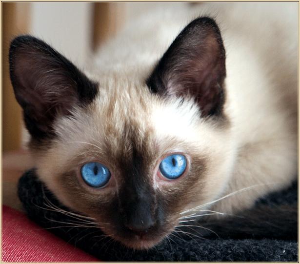 Kittens for Sale in Texas  Felines4us