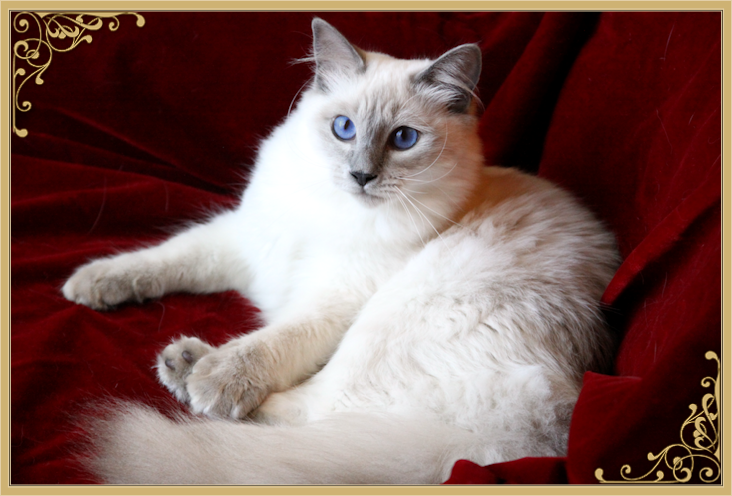 Balinese Cat Breeder & Balinese Cats For Sale by Siamese Royalty
