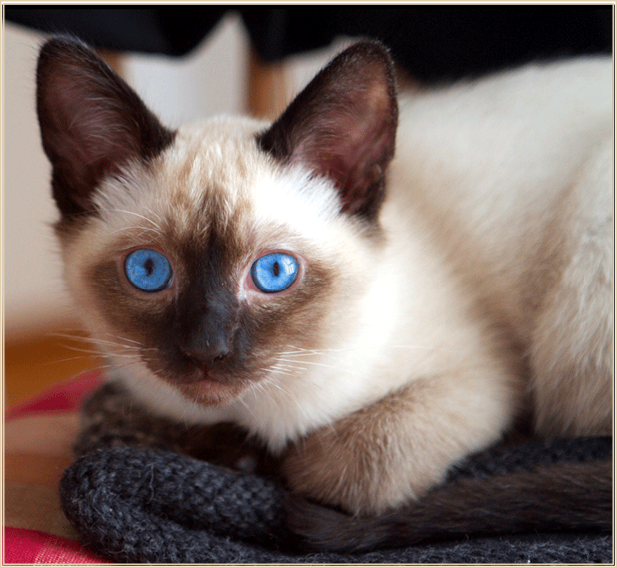 Applehead Siamese Cats For Sale In Texas